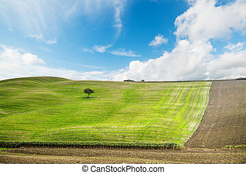 tree in a green hill in Tuscany