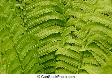 Beautiful fresh green fern leaves close-up. Spring floral...