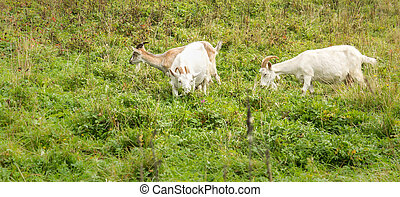 Three village goats - Adult Alpine goat breeds and two white...