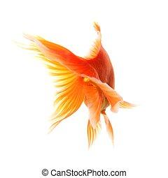 goldfish - swimming single goldfish isolated on white...