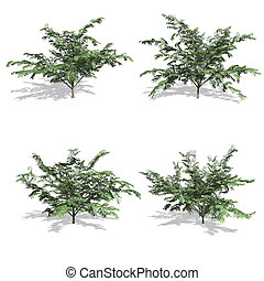 mimosa - Mimosa trees, isolated on white background.