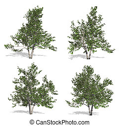 birch trees, isolated on white background.