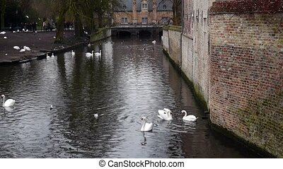 Swans and ducks swimming on the river in the Bruges, Belgium