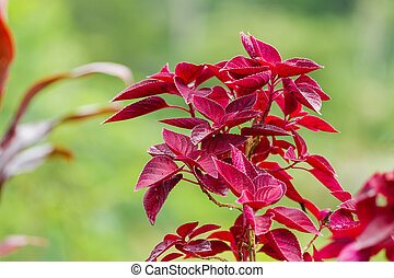 Coleus, genus of flowering plants in the family Lamiaceae....