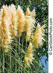 Pampas grass with green foliage.