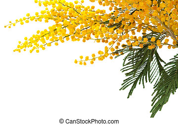 mimosa - branch of a mimosa on a white background