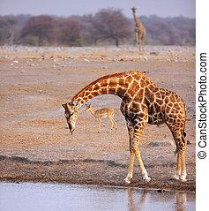 Girafa, bebida, Waterhole