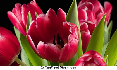 Bouquet of bright red tulips blooms, time lapse.