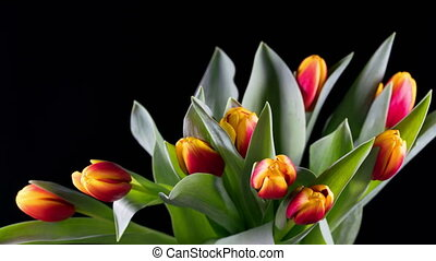 Bouquet of yellow-red bright tulips rises, time lapse