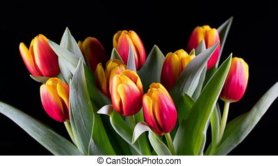 Bouquet of bright yellow-red tulips blooms, time lapse.