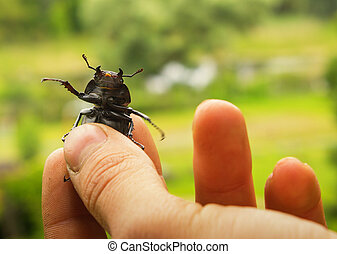 stag beetle in hand - stag beetle in his hand, in the...