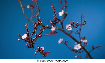 spring sakura pink flower blossoming branch, time lapse