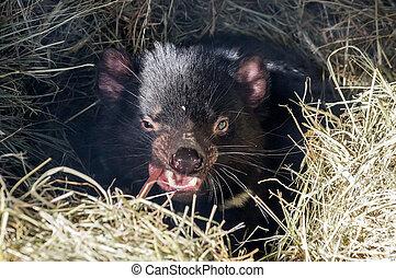 Tasmanian Devil in straw, a rare predator living only in...