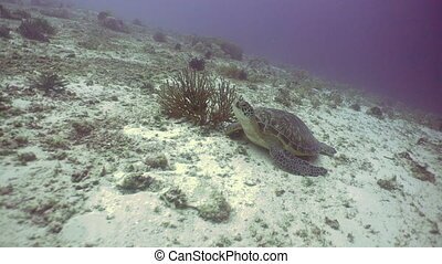 Sea turtle under water. - Sea turtle swimming underwater...