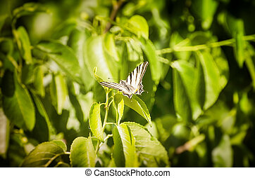 The scarce swallowtail (Iphiclides podalirius) Over Green