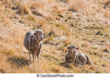 two merino sheep resting on dry grass - closeup of two...