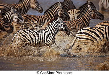 zebra's running through water - Frightened herd of zebra's...