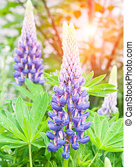 lupine flowers - landscape with lupine flowers field. Summer...