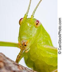 common katydid - Australian common katydid (Caedicia simplex...