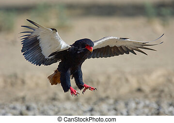 Bateleur eagle - Bateleur in flight just before landing;...