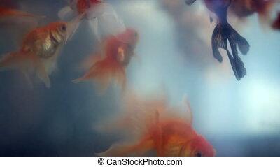 Upside down floating goldfish among beautiful goldfishes -...