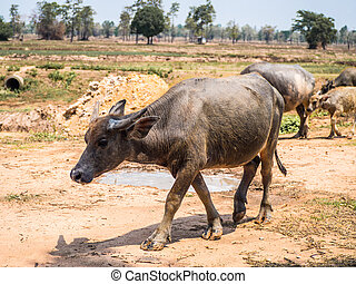 Thai Buffalo walking on the country road