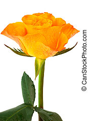Fresh orange rose on a white background
