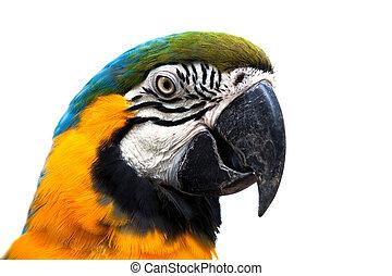 bonito, Papagaio