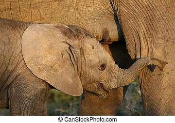 Suckling Baby African Elephant - Baby African elephant with...