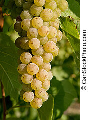 White Grapes - Closeup of white wine grapes on vine