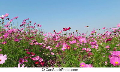 Wind blows  Cosmos flower