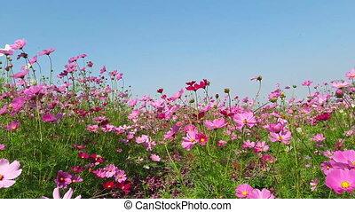 Wind blows  Cosmos flower
