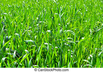 Green fresh grass.