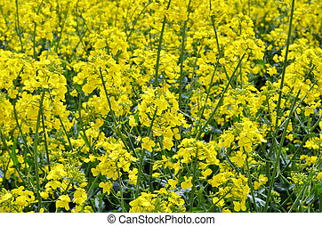 Rapeseed (Brassica napus). Field of bright yellow rapeseed...