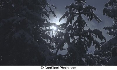 Snow-covered spruce and falling snow