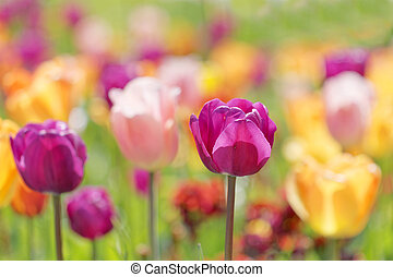 Color burst of very colorful tulips in violet, pink, yellow...
