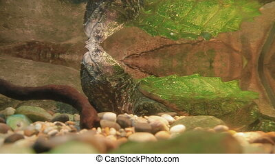 The alligator snapping turtle (Macrochelys temminckii) in...