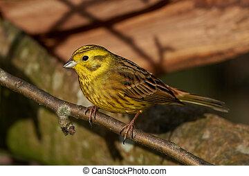 Yellowhammer (Emberiza citrinella) - Yellowhammer resting on...