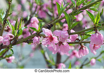 Spring blossoming, pink peach tree. Close up photo