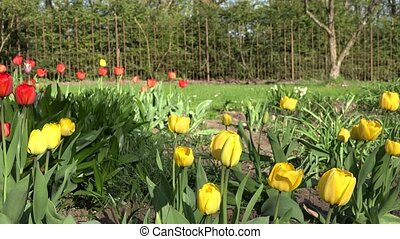 Colorful tulip flowers in a sunny green spring park, garden....