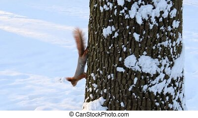 squirrel runs on the tree in winter park