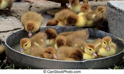 little ducklings drink and swim in the farm