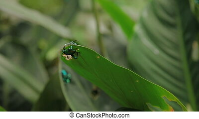 Pair of frog-legged leaf beetle mating on green leaf....