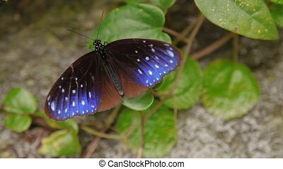 Euploea mulciber, the striped blue crow having a rest on...