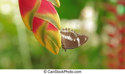 Butterfly collects pollen on flower Lobster claw Heliconia ,...