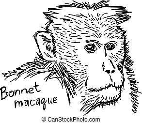 Bonnet macaque - vector illustration sketch hand drawn with...