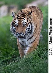 Siberian Tiger (Panthera tigris altaica) - Siberian Tiger at...