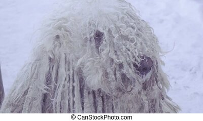 Komondor Hungarian sheepdog - Muzzle komondor and stroking a...