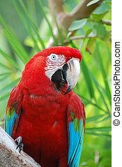 Posing Poised Scarlet Macaw Bird - Posing red scarlet macaw...