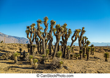 The Joshua Tree - Yucca brevifolia is a plant species...